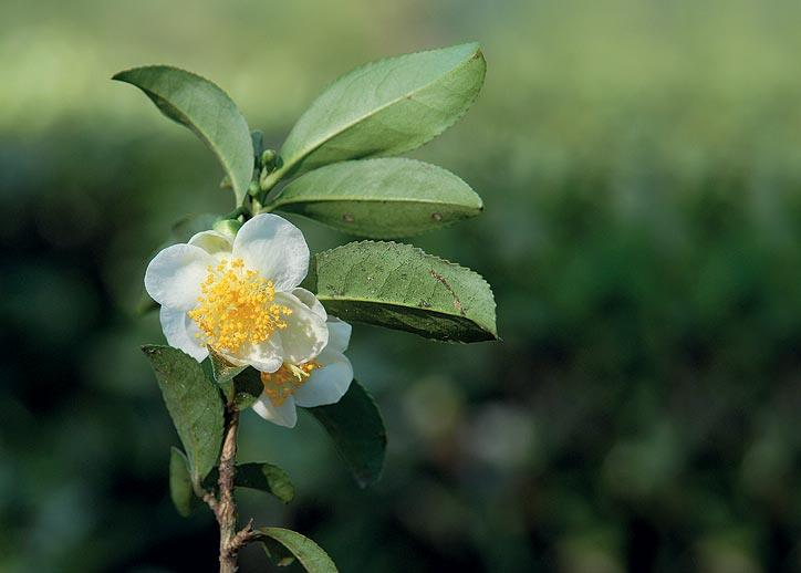 This pretty buttercup-shaped flower is the bloom of the Camellia sinensis, the tea plant. It is rare to see, as the tea bushes are kept consistently pruned to stimulate vigorous new shoots. (From the book Chai: The Experience of Indian Tea, by Rekha Sarin and Rajan Kapoor; Published by Niyogi Books; Price Rs 1,995)