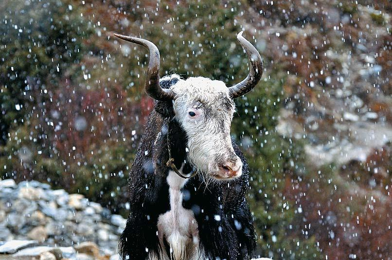A yak weathers out the inclement conditions with complete nonchalance