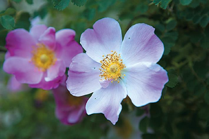The Siachen (Sia means rose and Chen means flower) is a legendary Ladakhi flower. This beautiful bush is abundant in July