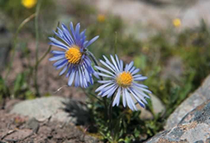 The Himalayan Aster, a leafy perennial herb, is mostly found in the Eastern Himalaya, but stray flowers are also seen in Ladakh