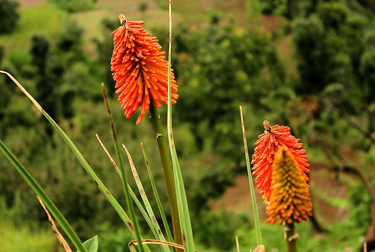 Perennial kniphofia flower commonly known as poker plant bloom on their own in the wild... and there's no one to pack them off to the lobbies of five-star properties