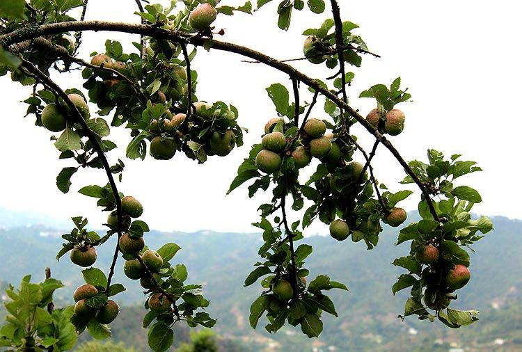 Though the Uttarakhand apples are not as famous as their Himachali counterparts, nonetheless they are as juicy and crunchy as it can be. These should be ripe-n-ready by mid-August.