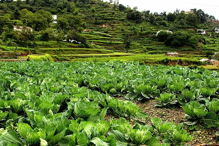Along with potato, cabbage is one of the chief crops in the hills of Dhanachuli