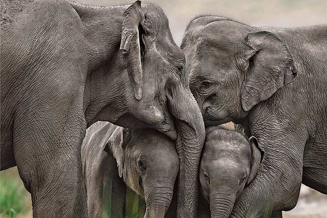 Two mother elephants with their calves