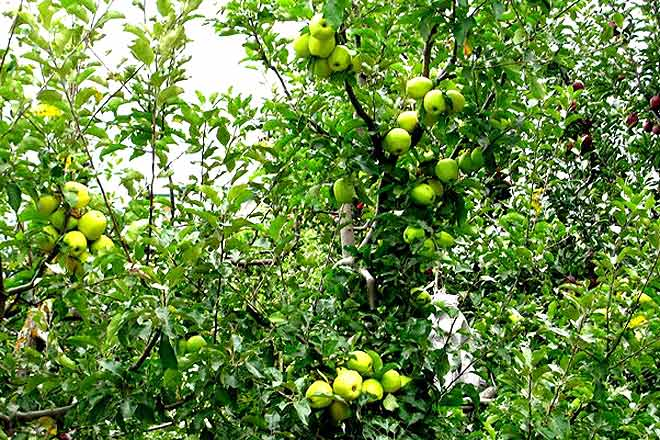Golden delicious apples of Kalpa