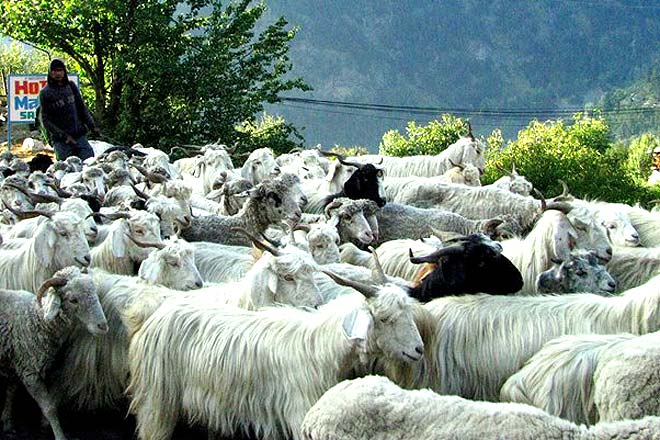 Sheep rearing is a common activity in the valley