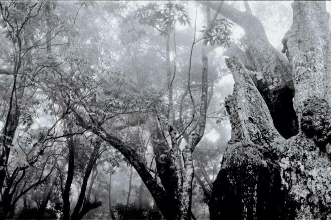 Enormous Syzygium, Bombay Shola