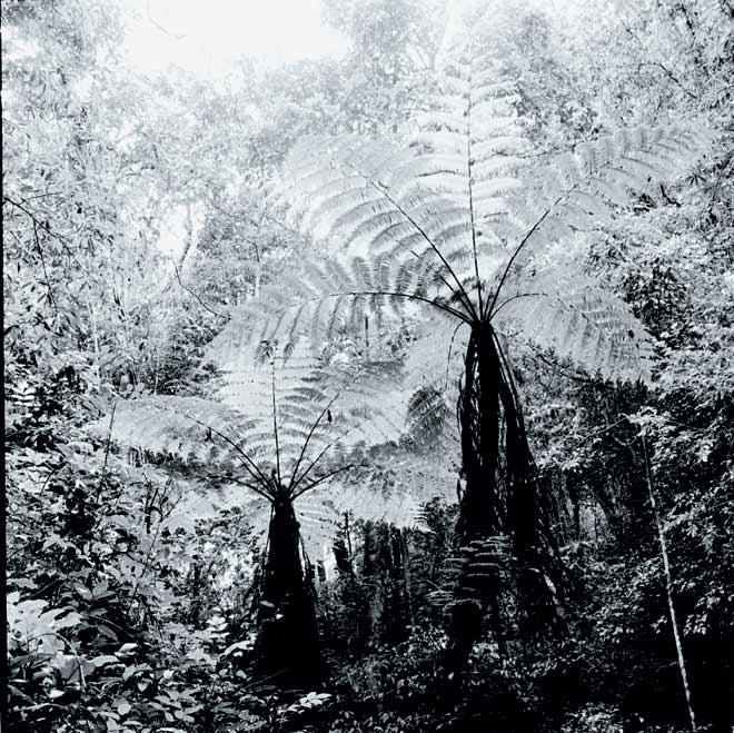 Tree ferns in Blackburn Shola