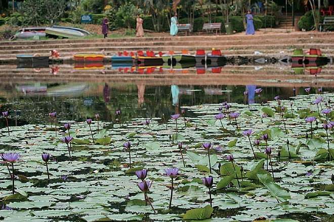 Purple lotus blooms on Pookote Lake in Lakkidi (Kerala), a pleasant spot for boating