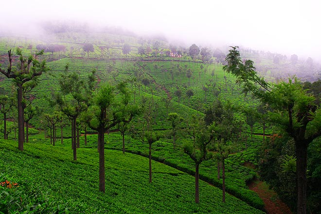 Tea estate in Coonoor