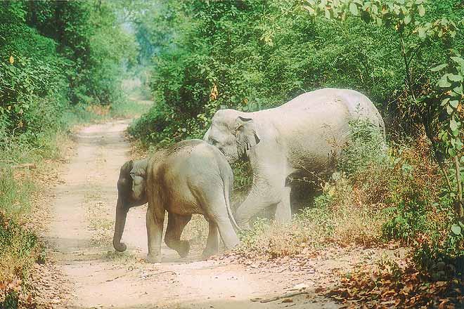 Elephants at Rajaji National Park in Uttarakhand