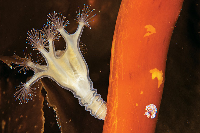 Stalked jellyfish on kelp, Lucernaria quadricornis