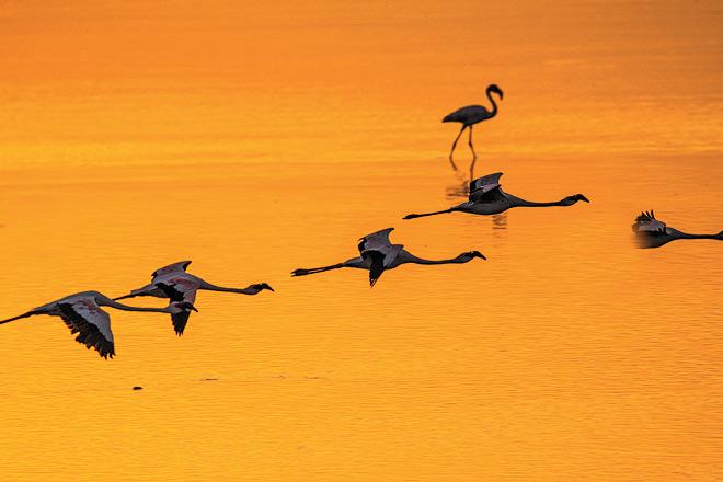 Flamingoes take flight at Sewri Creek in Mumbai