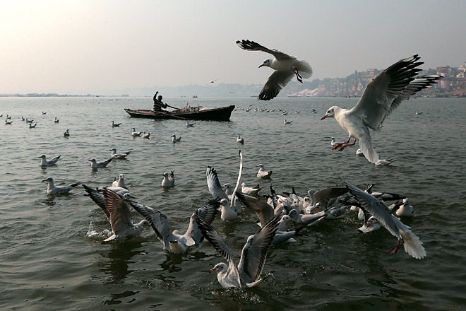 Gulls feed on the Ganga at Benaras