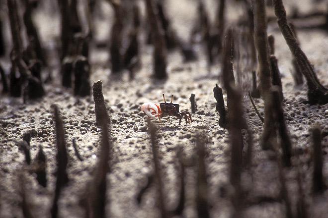 A fiddler crab moves through the mangroves, Mayabundar