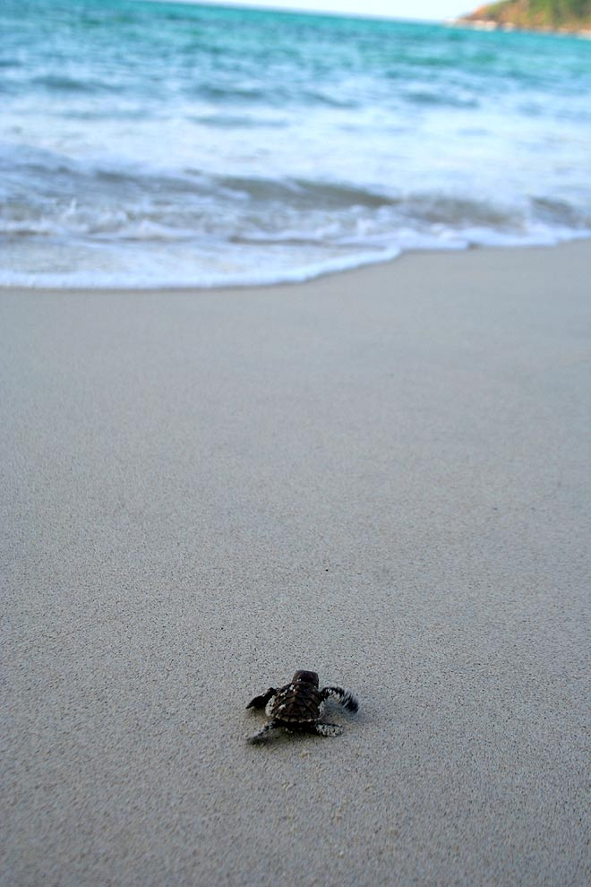 A newly hatched Hawksbill turtle heads for the sea, North Cinque Island