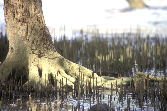 The breathing roots of a mangrove forest, Mayabundar
