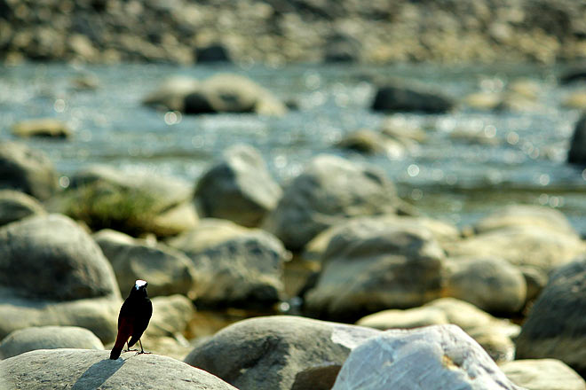 A white-capped redstart, poised on a rock, gazes placidly at the Kosi river