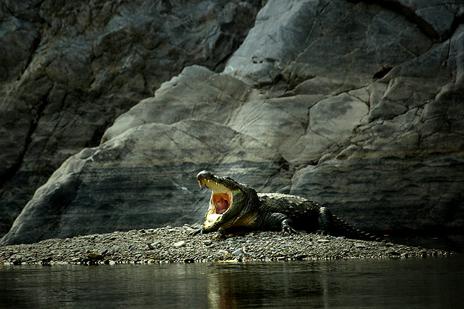 The lonely crocodile of Marchula  is the only one that inhabits this stretch of the river. It's been here for more than a decade