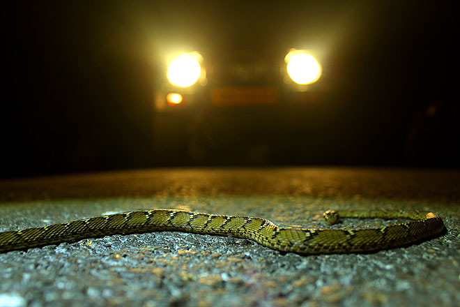 A cat snake lies on a tarmac track within Corbett