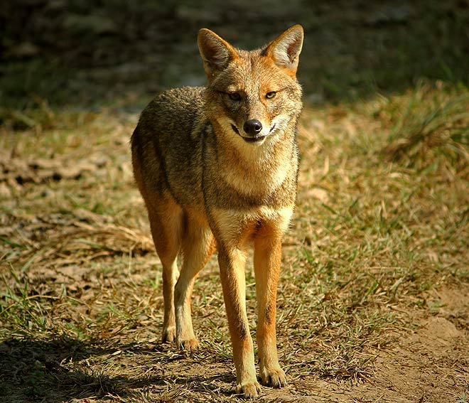 A jackal sports its brilliant winter coat, shimmering in the morning sun