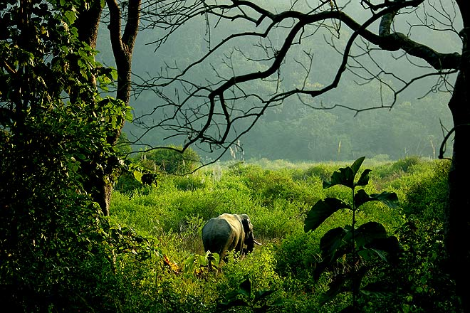 A wild Asiatic elephant ambles away into the thickets, looking for salt