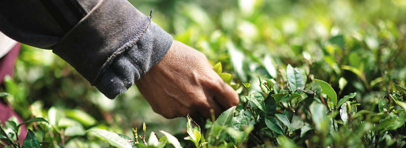 West Bengal: Tea Tales