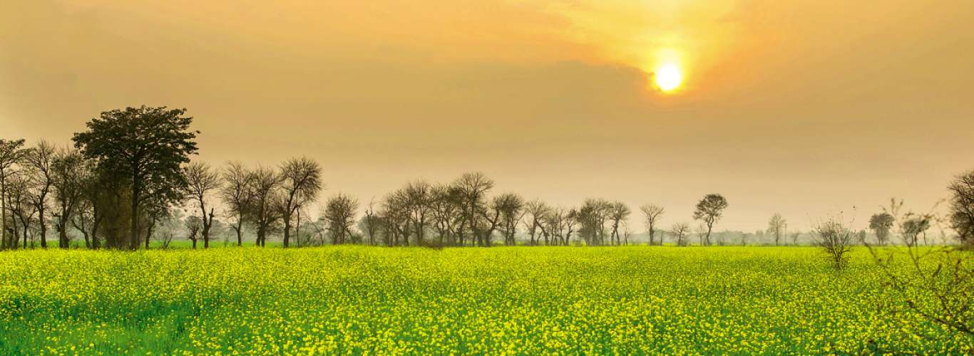 Punjab: Mustard Fields Forever