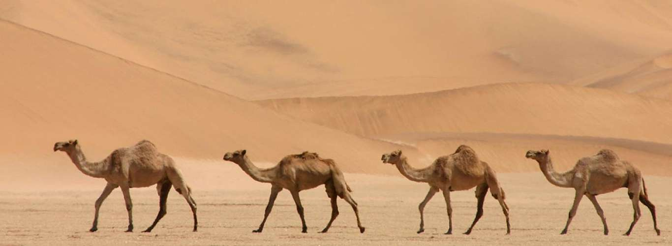 The Importance of Camels
