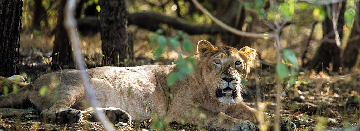 The Last Lions of Gir