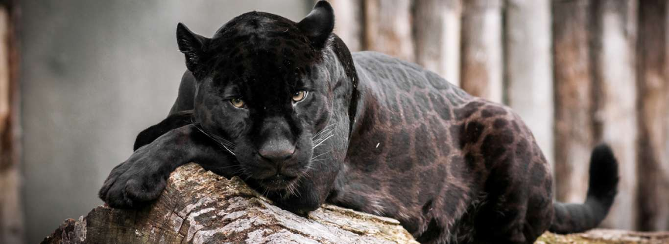 Black Panther sighting in Odisha after two decades!