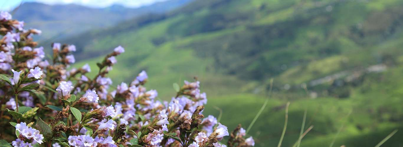 Neelakurinji (Strobilanthes kunthianus) blooms once every 12 years in South India...
