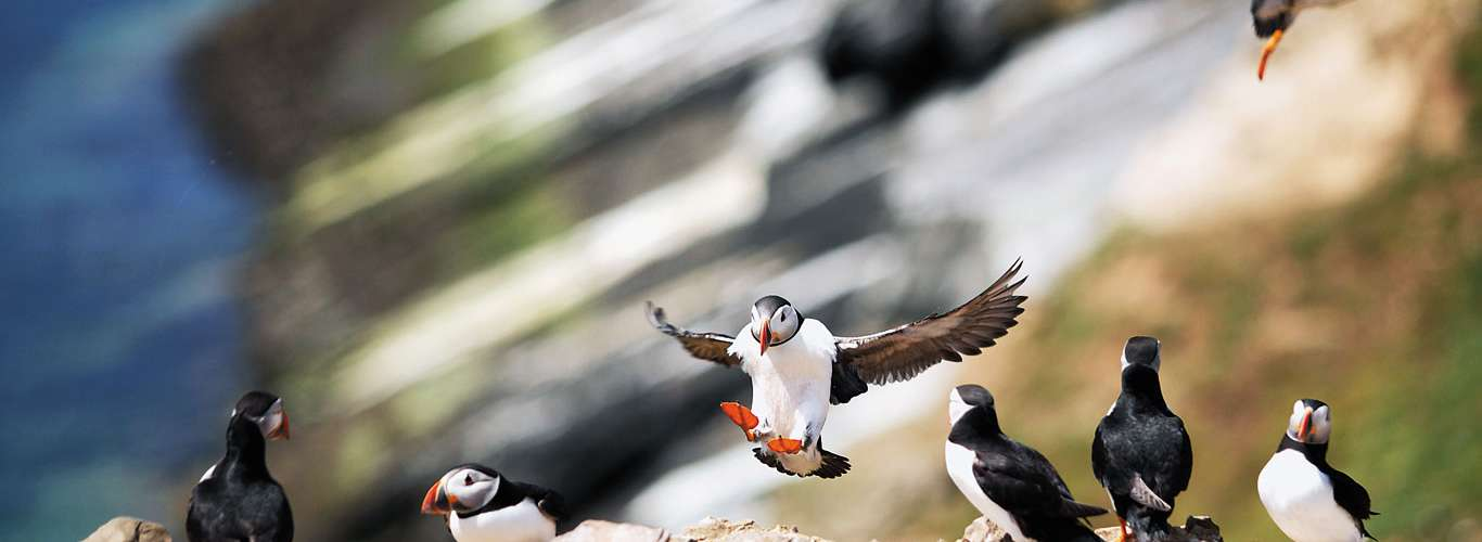A Day Out With The Adorable Atlantic Puffin