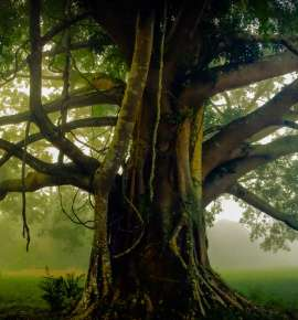 Gnarly & Evergreen: The World's Oldest Trees