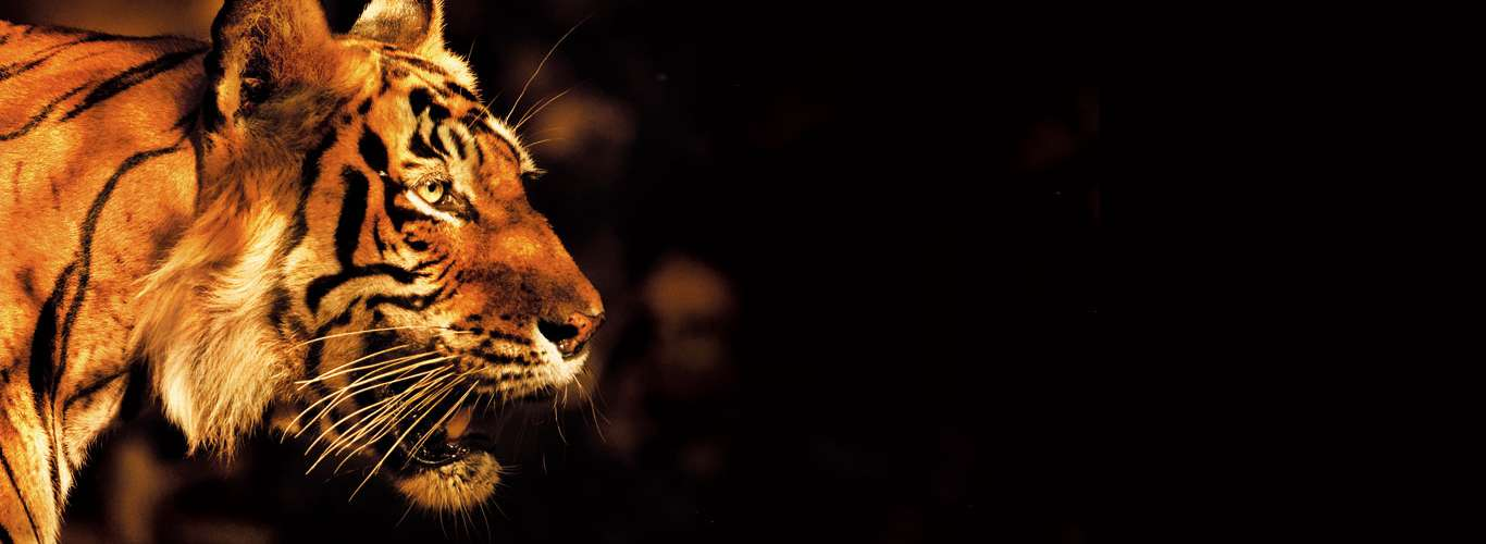 From Extinction To Attraction: How Nature Tourism Is Helping Save The Tiger