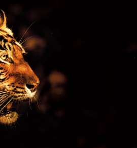 From Extinction To Attraction: Tiger Population In India