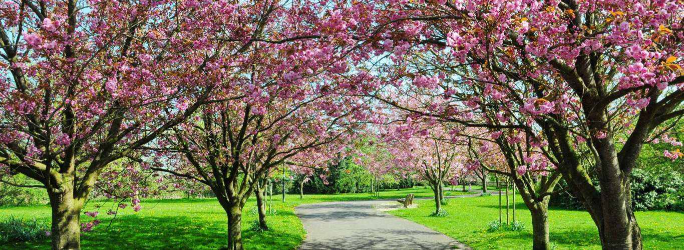 Cherry Blossoms Spring Up Early In Shillong—And There's A Festival To Celebrate It Too