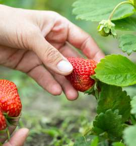 Panchgani, The Land of Strawberries