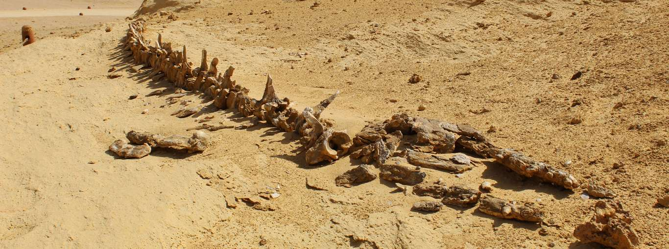 When Whales Walked An Ancient Ocean In Egypt's Desert