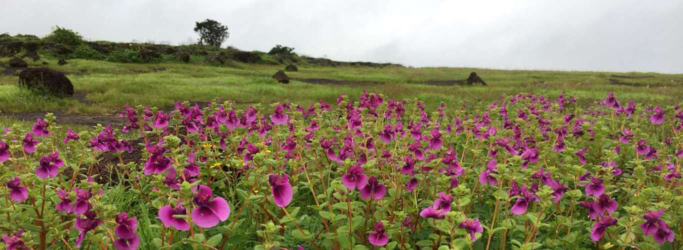 All Things Bright & Beautiful At Kaas, Maharashtra's Valley of Flowers