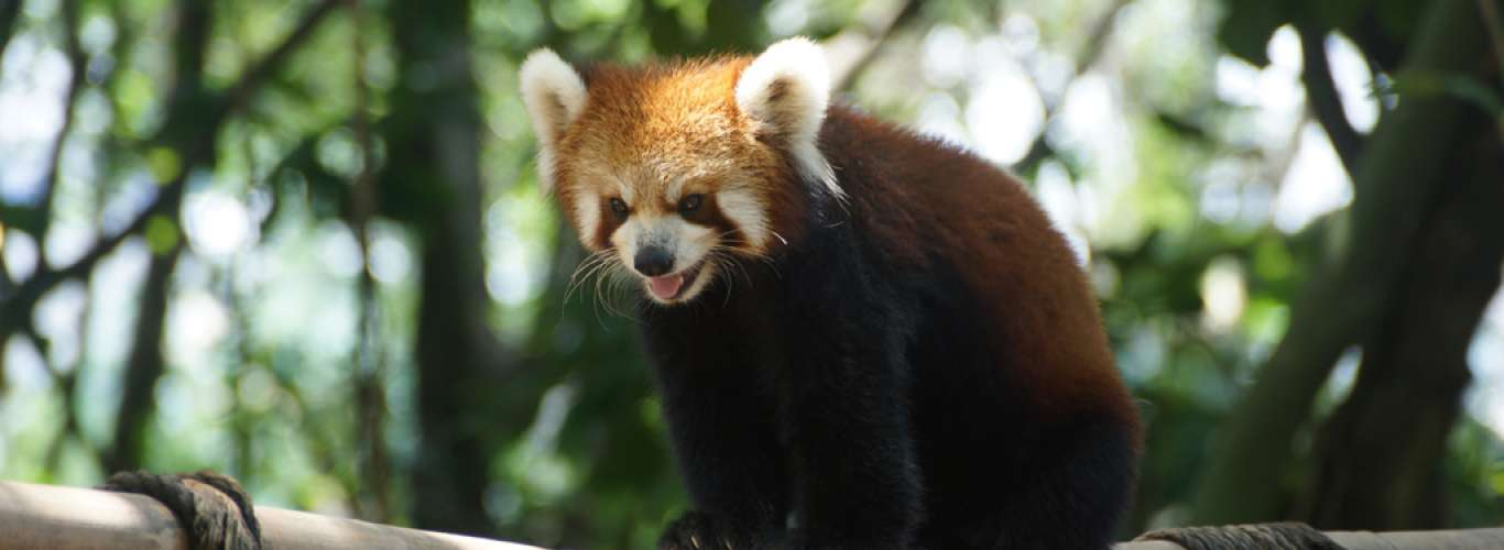 Red Pandas & Giant Squirrels: Unique Creatures To Spot In India Besides The Tiger