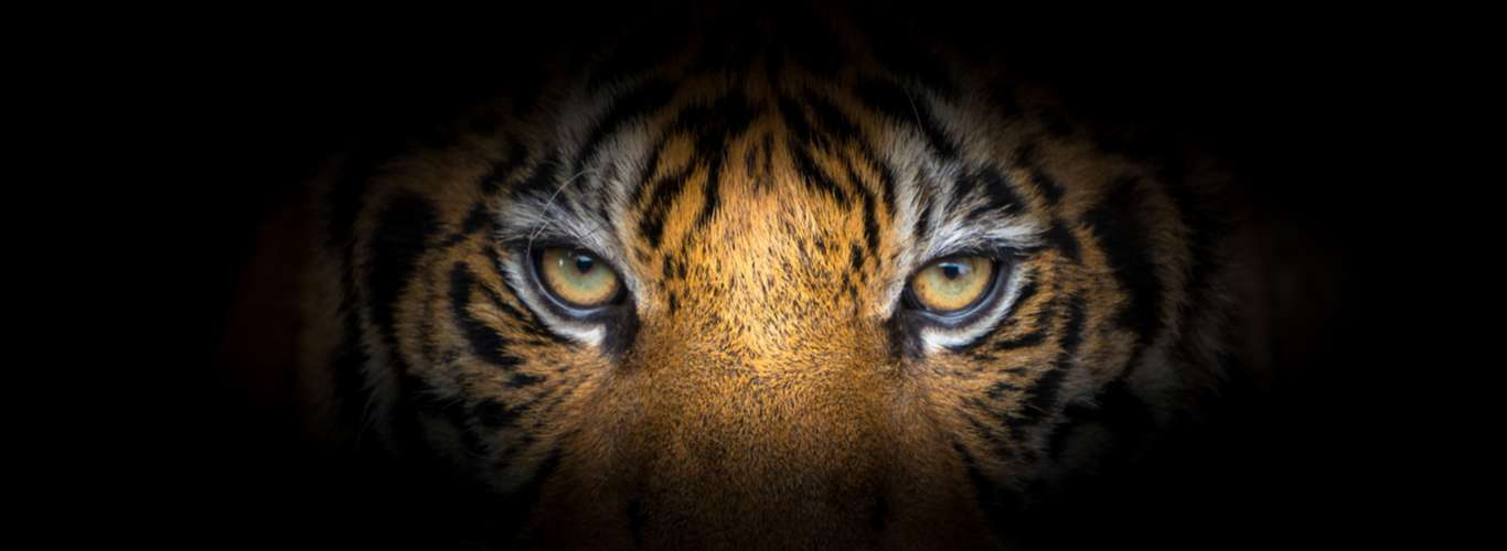 From the Eye of the Tiger