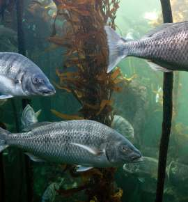 Secret Giant Kelp Forest off Cape Town Catches Global Attention