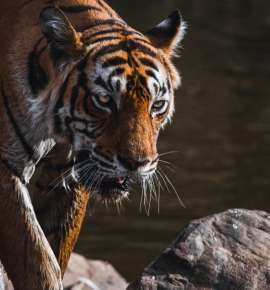 The Life and Times of Ranthambore's OG Sherni