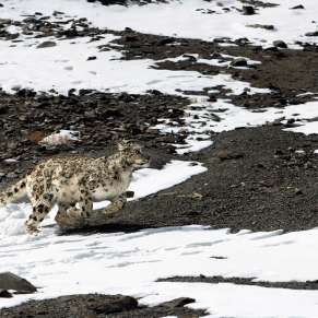 Spotting The Big Cats in Ladakh
