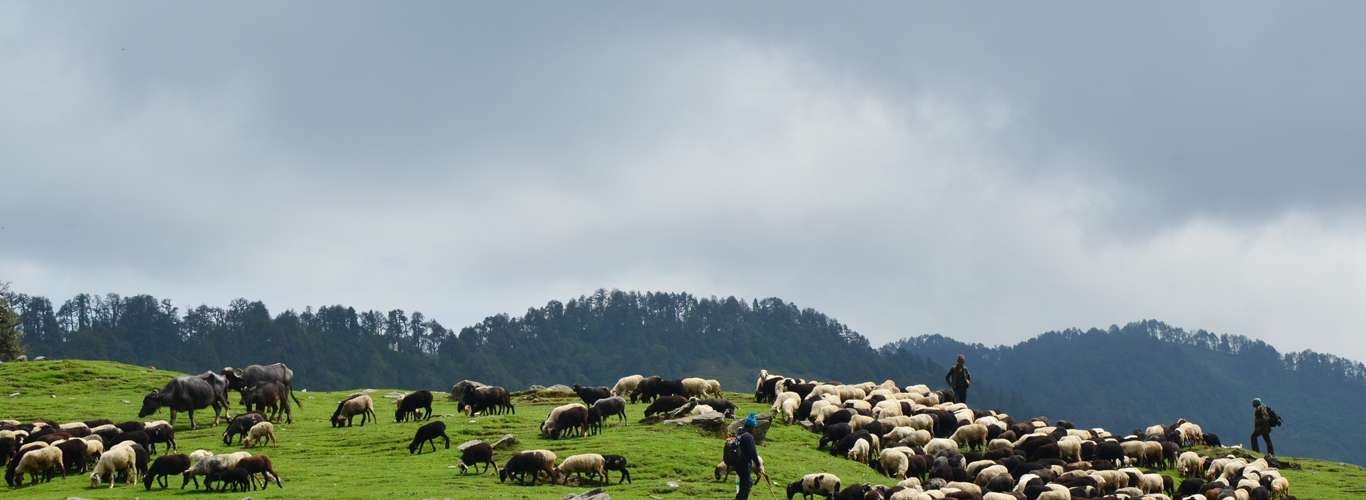 Pastoral Scene Takes a Dramatic Turn at Deoriatal-Chopta