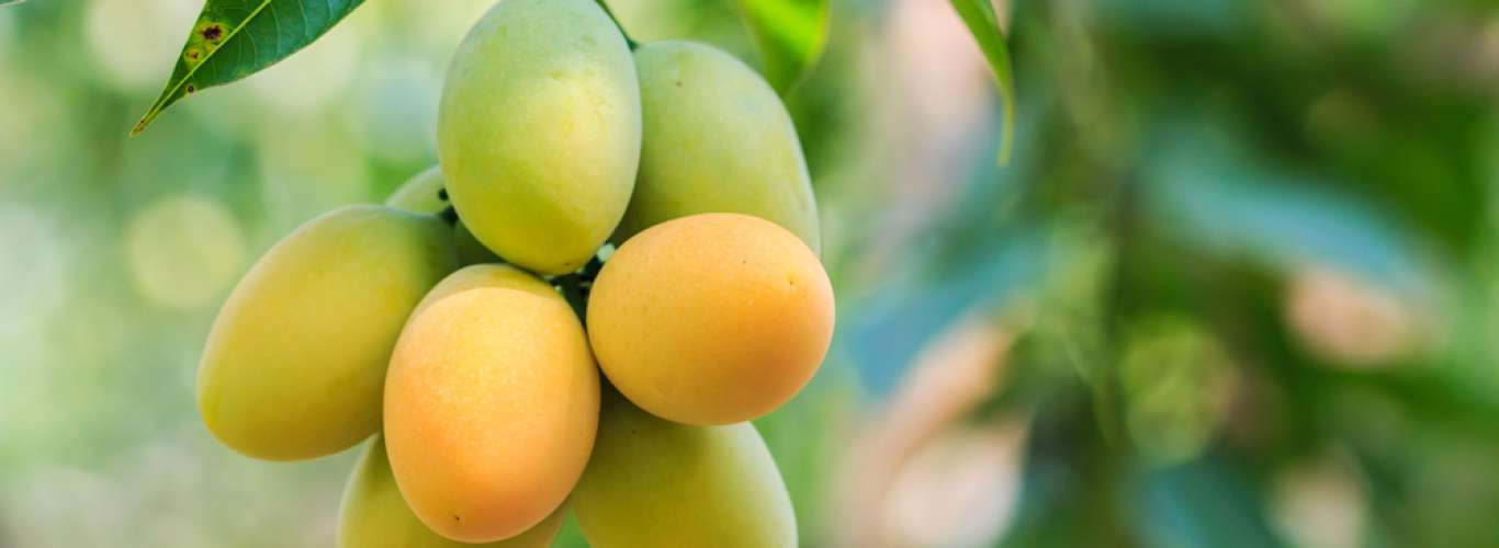 Go Mango Picking At These Orchards In India