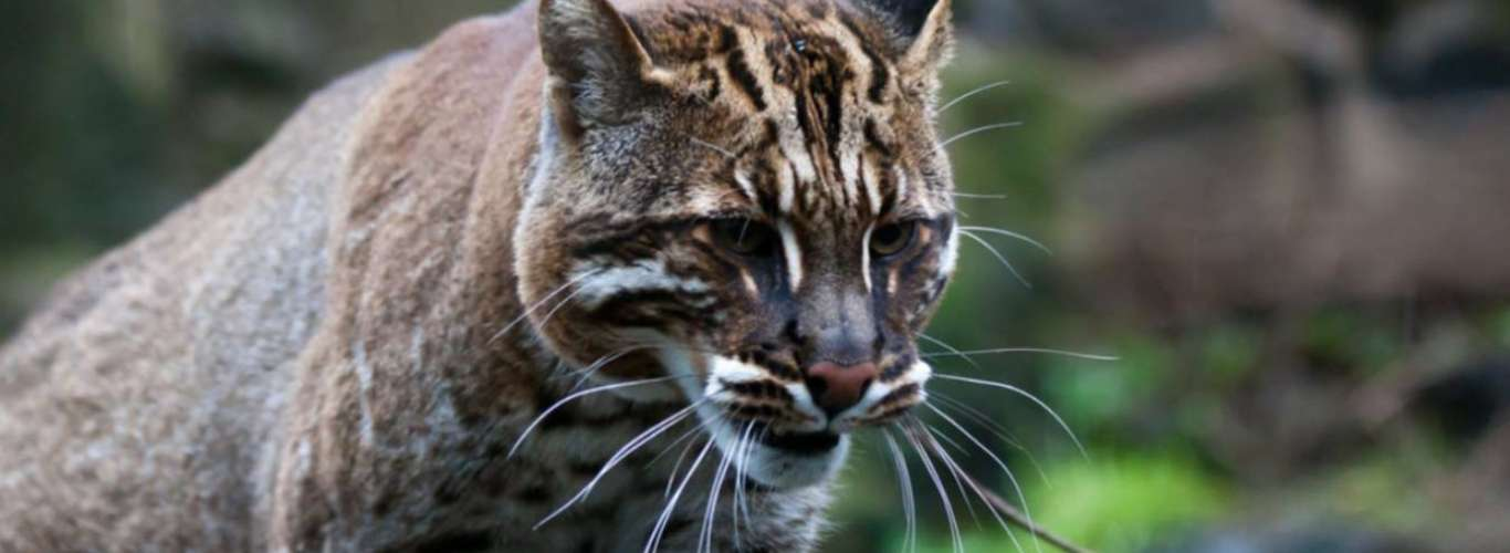 Tired of Your Old Coat? So is the Asiatic Jungle Cat