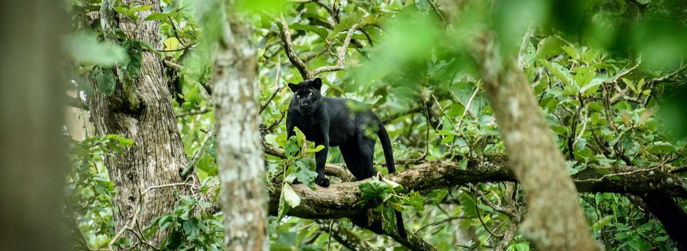 Black Panther Spotted in Nagarhole National Park