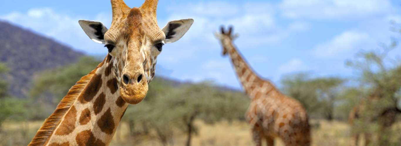 Will The Giraffe Become Endangered Too?